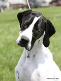 Olivia - English Pointer, pointer, AKC